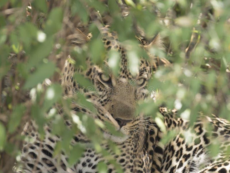 Leopardo que oculta en los arbustos foto de archivo