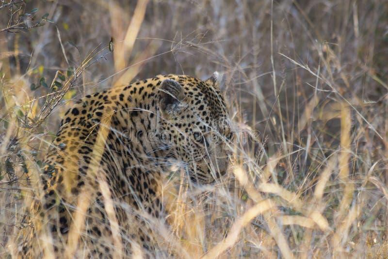 Leopardo que olha através da grama longa imagem de stock royalty free