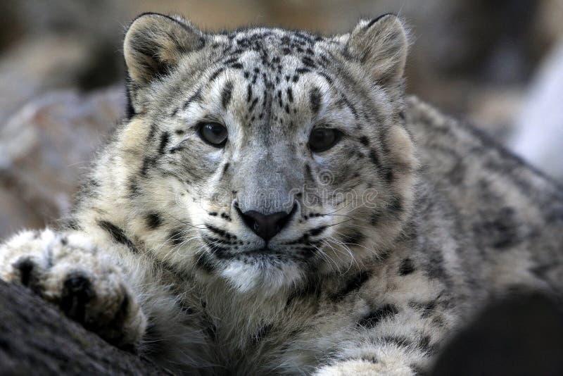 Leopardo que olha o fotos de stock royalty free