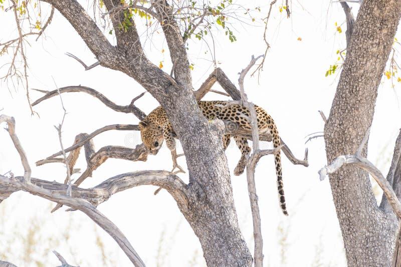 Leopardo que se encarama de rama de árbol del acacia contra el cielo blanco Safari en el parque nacional de Etosha, destino princ imagenes de archivo