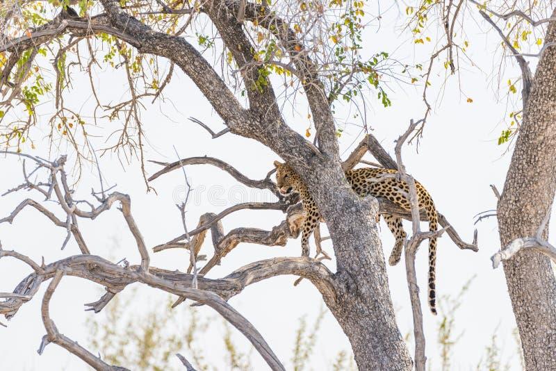 Leopardo que se encarama de rama de árbol del acacia contra el cielo blanco Safari en el parque nacional de Etosha, destino princ fotografía de archivo libre de regalías