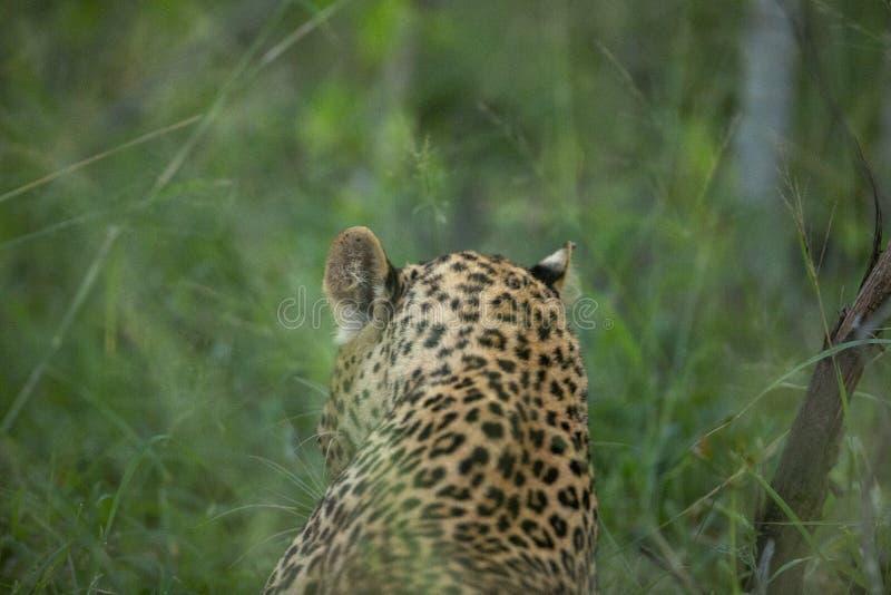 Leopardo que se prepara antes de distraer foto de archivo libre de regalías