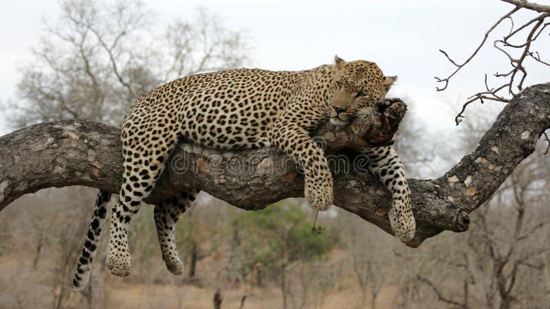Leopardo que se reclina en árbol foto de archivo