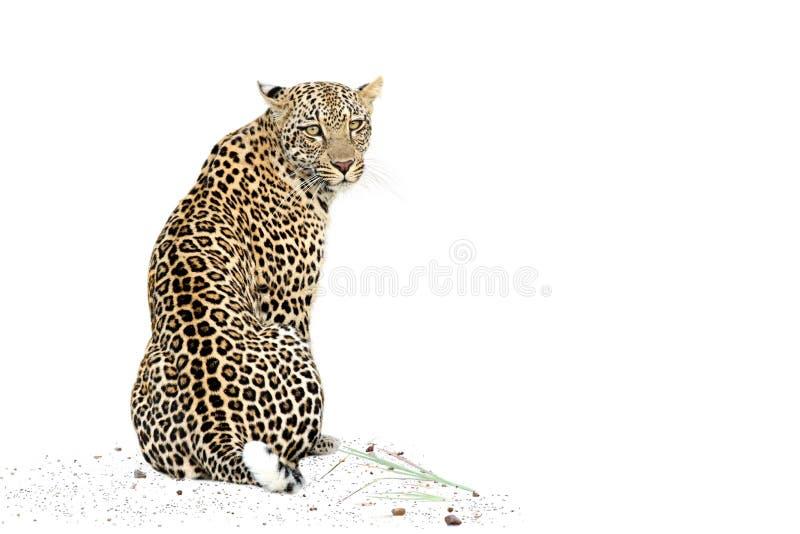 Leopardo que se sienta foto de archivo libre de regalías