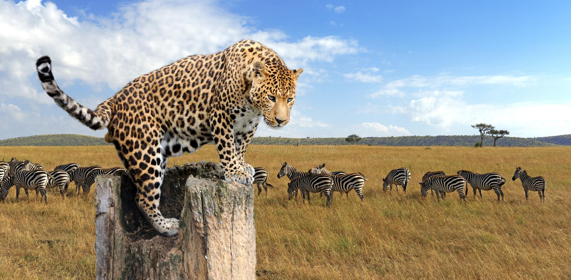 Leopardo que senta-se em uma árvore imagem de stock royalty free