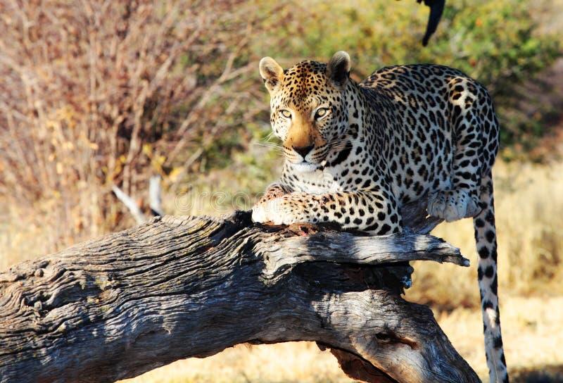 Leopardo selvagem fotos de stock