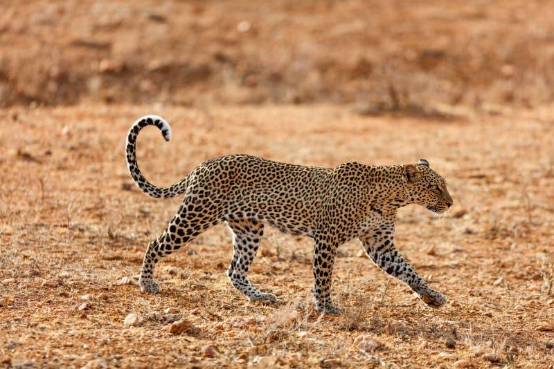 Leopardo selvagem em África imagens de stock