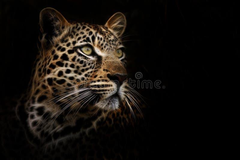 Leopardo soñador fotografía de archivo