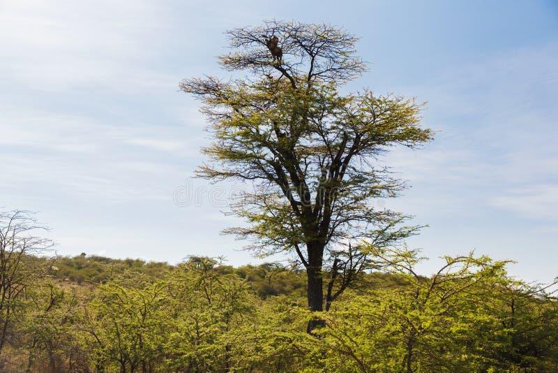 Leopardo sobre a árvore no savana em África foto de stock royalty free
