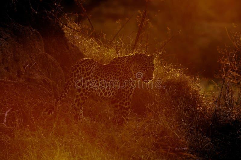 Leopardo solitário no crepúsculo fotos de stock