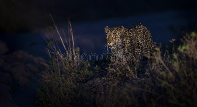 Leopardo solitário que anda na escuridão e na caça para o alimento na natureza fotografia de stock royalty free