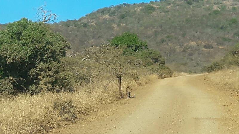 Leopardo sotto un albero, a caccia di Nyalas nel cespuglio fotografia stock