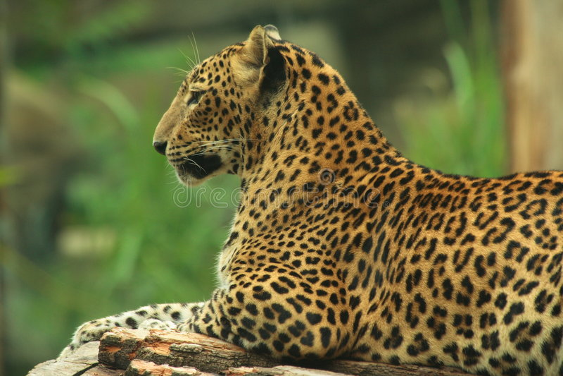 Leopardo srilanqués imagenes de archivo