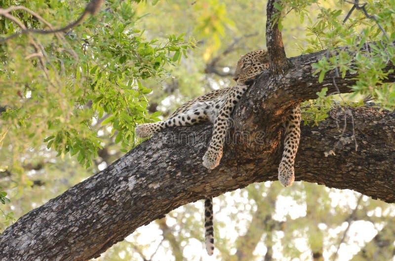 Leopardo su un arto fotografie stock