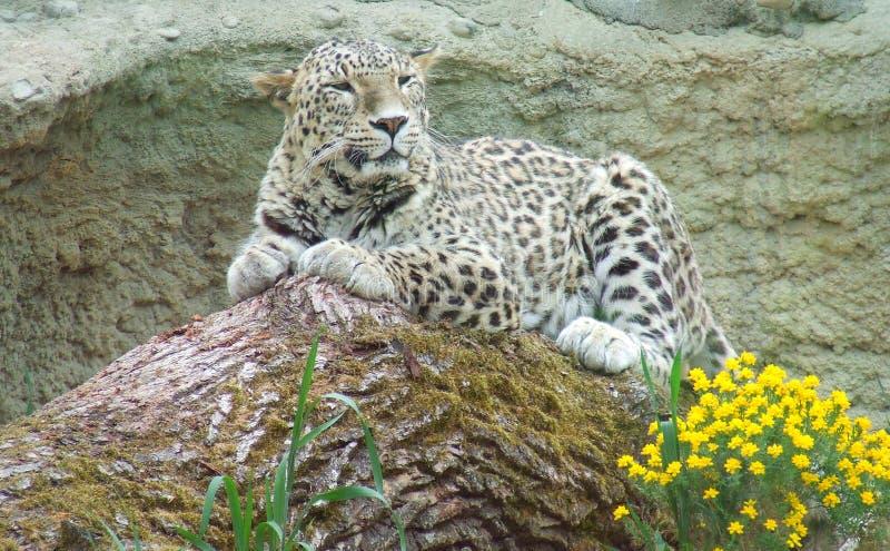 Leopardo su una roccia fotografia stock libera da diritti