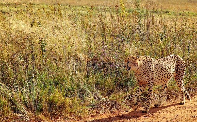 Leopardo sudafricano fotografia stock libera da diritti