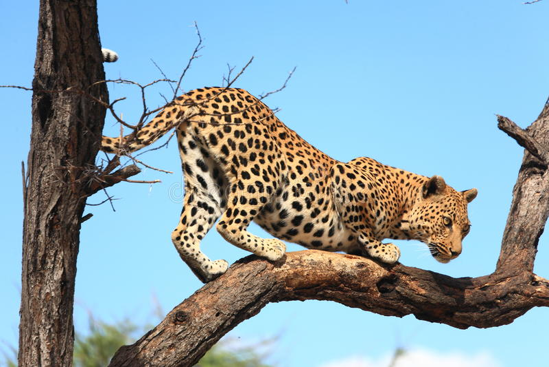 Leopardo sull'albero fotografia stock