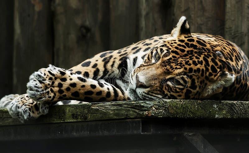 Leopardo triste no captiveiro foto de stock