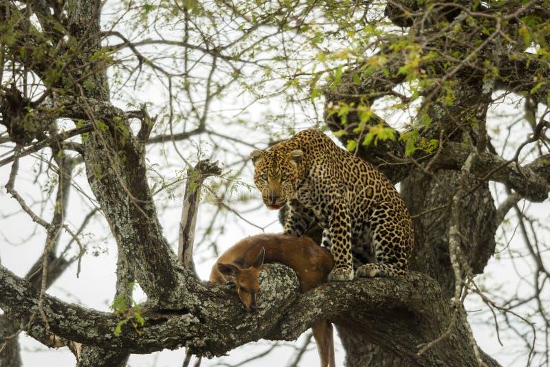 Leopardo in un albero con la sua preda, Serengeti, Tanzania fotografia stock