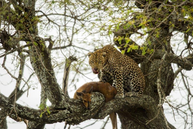 Leopardo in un albero con la sua preda, Serengeti, Tanzania immagine stock