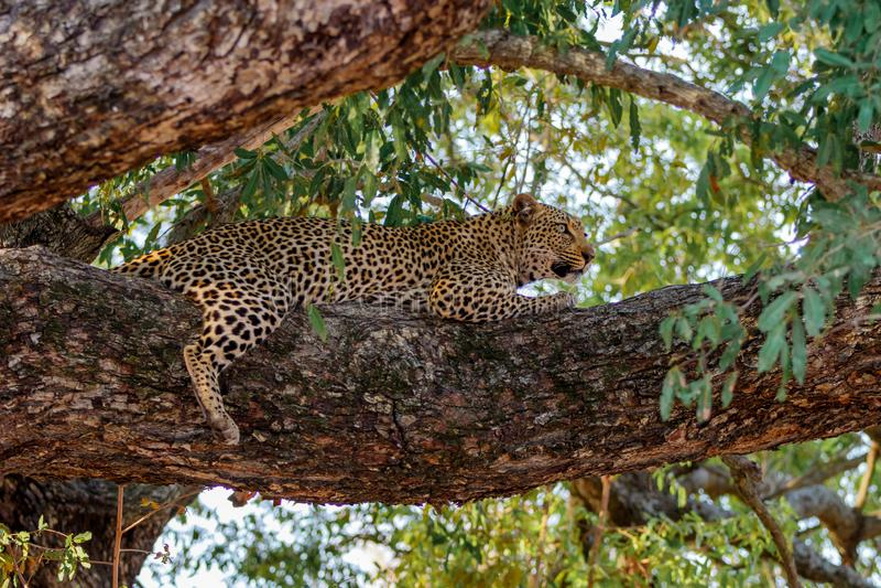 Leopardo in un albero nel Sudafrica fotografia stock libera da diritti