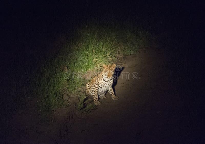 Leopardo in un riflettore mentre sul vagare in cerca di preda alla notte immagini stock libere da diritti