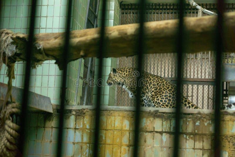 Leopardo in una gabbia immagini stock libere da diritti