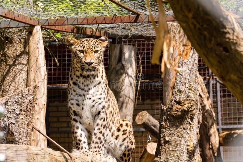 Leopardo in una gabbia dello ZOO che sembra senza vita fotografia stock