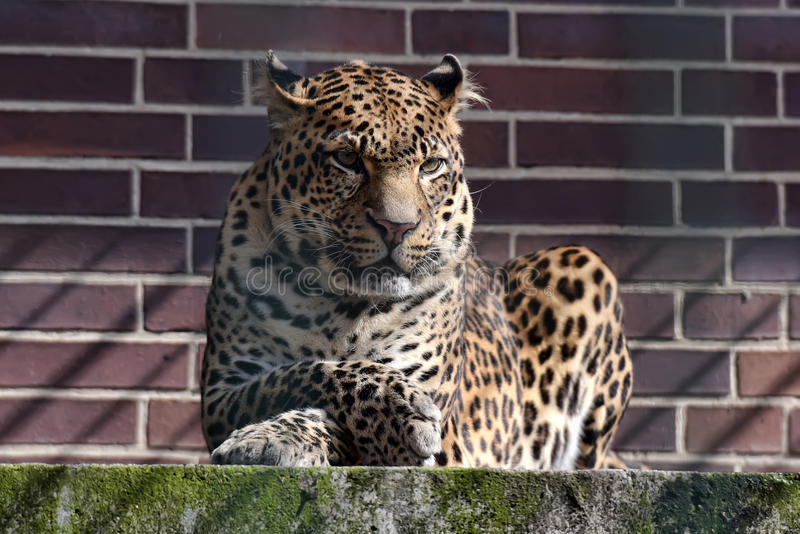 Leopardo in uno zoo fotografia stock libera da diritti