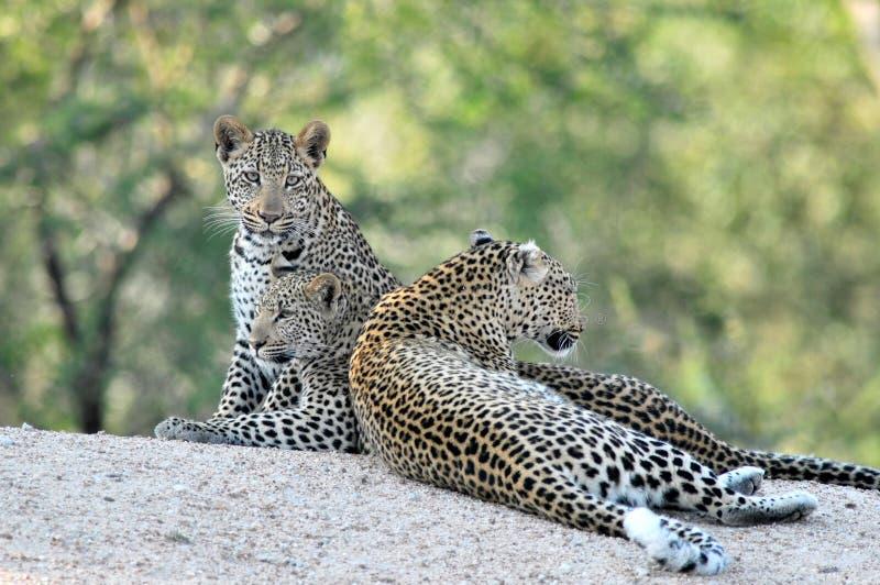 3 leopardos africanos junto fotos de archivo