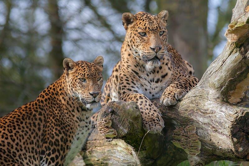 Leopardos cingaleses Animal do gato grande ou animais selvagens bonitos do safari imagens de stock