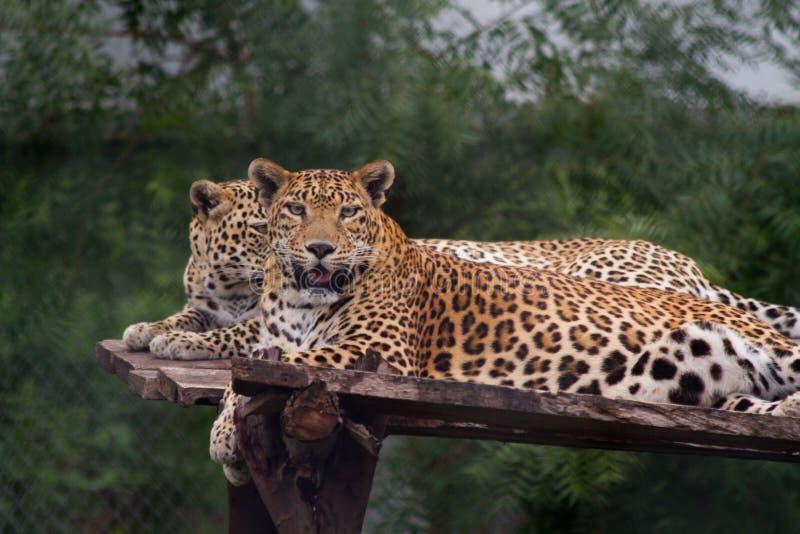 Leopardos que olham na câmera fotos de stock royalty free