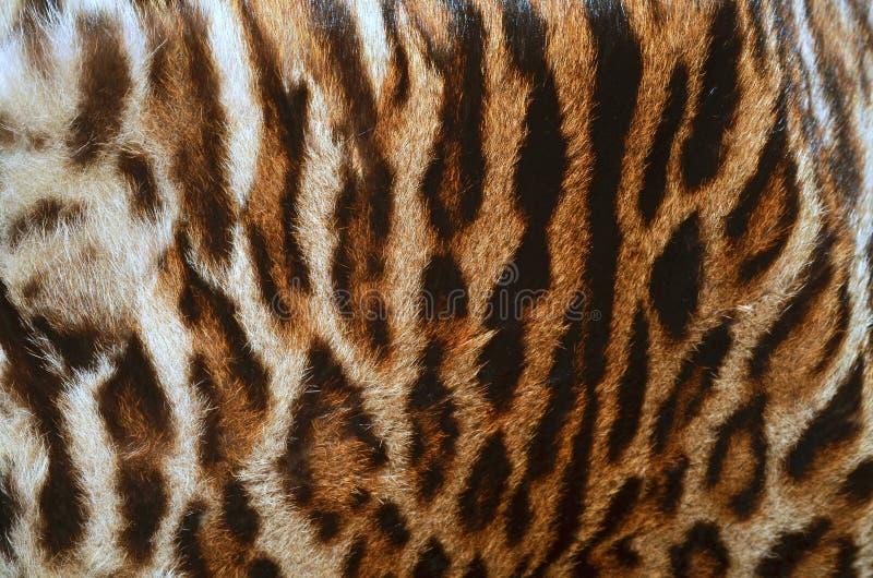 Leopardpälslag arkivbilder