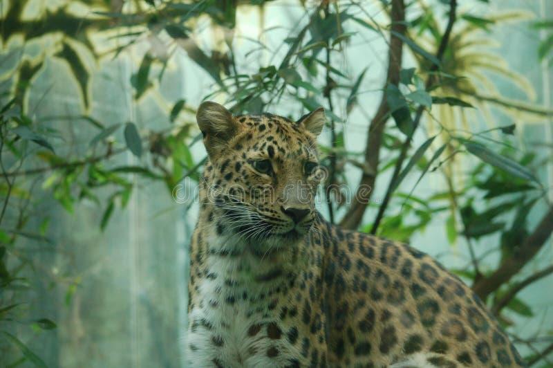 Leopardporträt im Zoo stockfotos