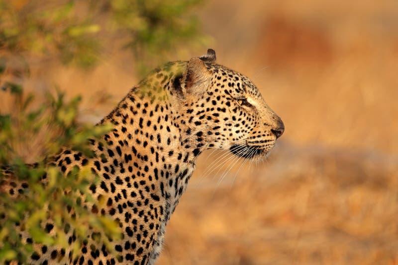 Download Leopardportrait stockfoto. Bild von punkte, katze, augen - 27733700