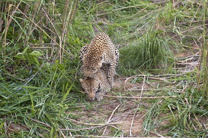leopards ζευγάρωμα στοκ εικόνες