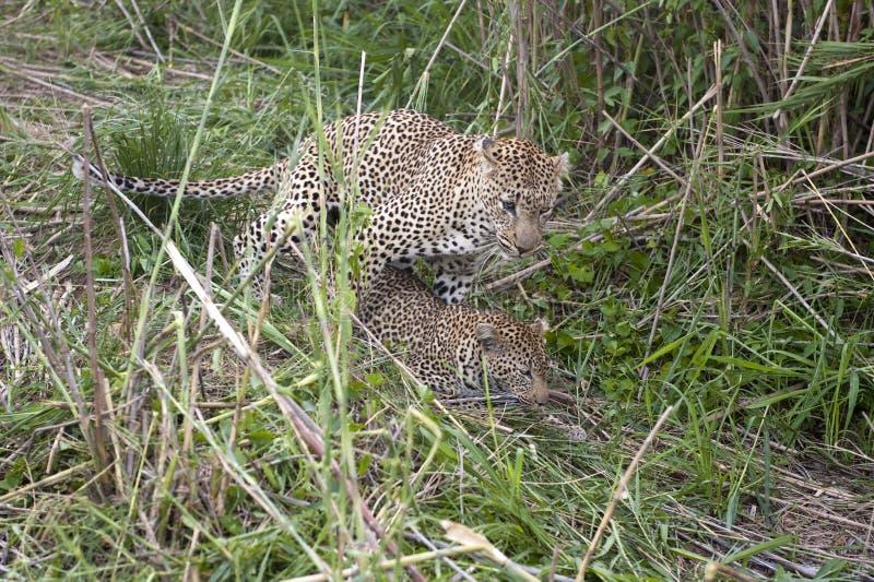 leopards ζευγάρωμα στοκ εικόνα