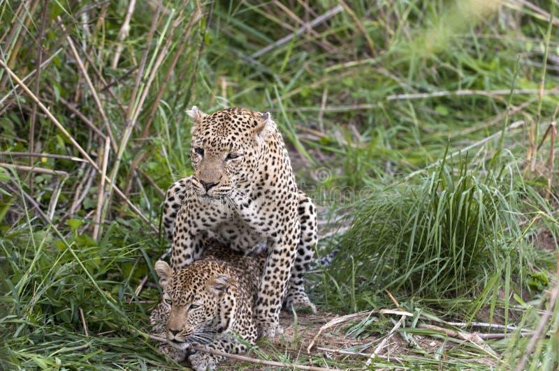 leopards ζευγάρωμα στοκ εικόνα με δικαίωμα ελεύθερης χρήσης