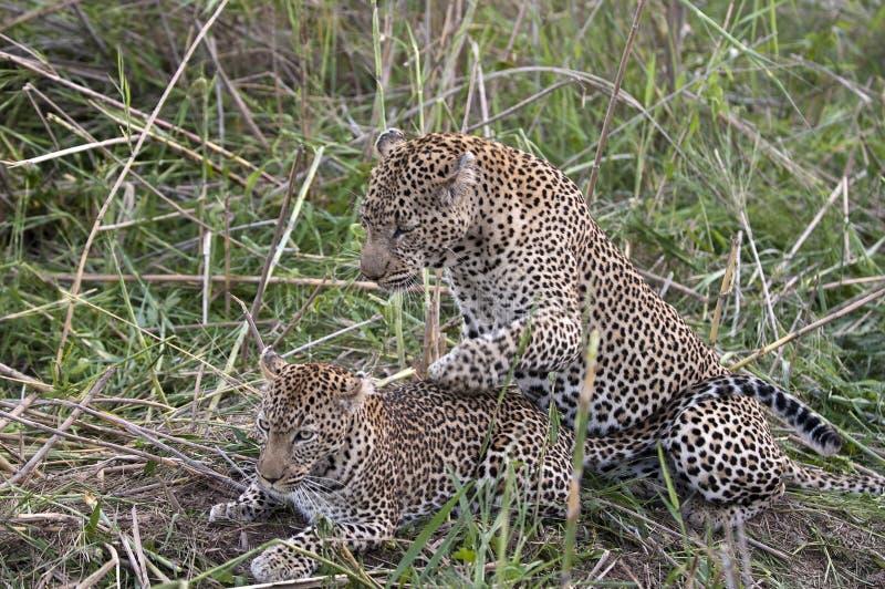 leopards ζευγάρωμα στοκ φωτογραφία με δικαίωμα ελεύθερης χρήσης