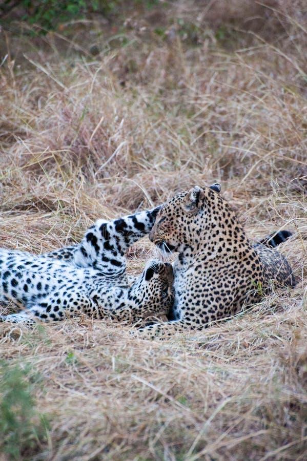 leopards παιχνίδι στοκ φωτογραφίες
