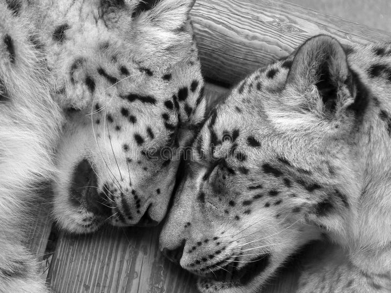 leopards που κοιμούνται το χιόνι  στοκ φωτογραφία