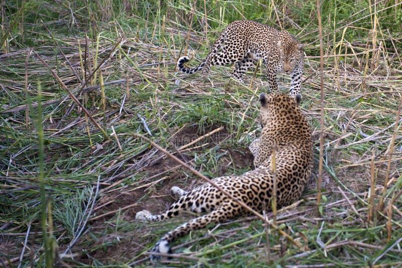 leopards στήριξη στοκ φωτογραφία με δικαίωμα ελεύθερης χρήσης