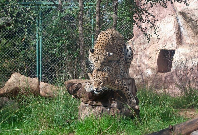 leopards σύντροφος στοκ εικόνα με δικαίωμα ελεύθερης χρήσης