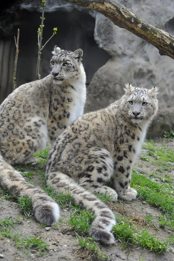 leopards χιόνι στοκ εικόνες