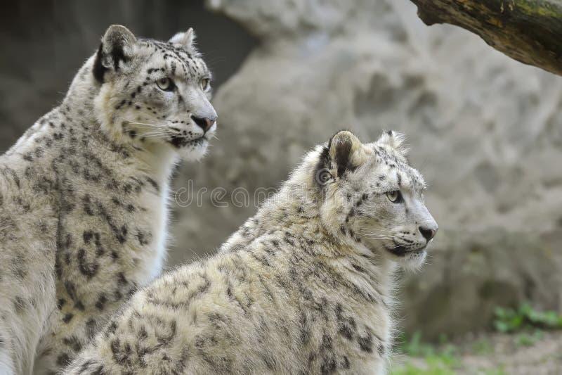 leopards χιόνι στοκ φωτογραφία με δικαίωμα ελεύθερης χρήσης