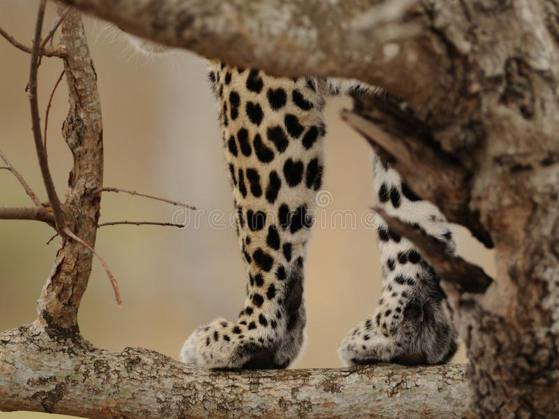 Leopards Paws. The leopard is one of the Big Five of South Africa stock photos