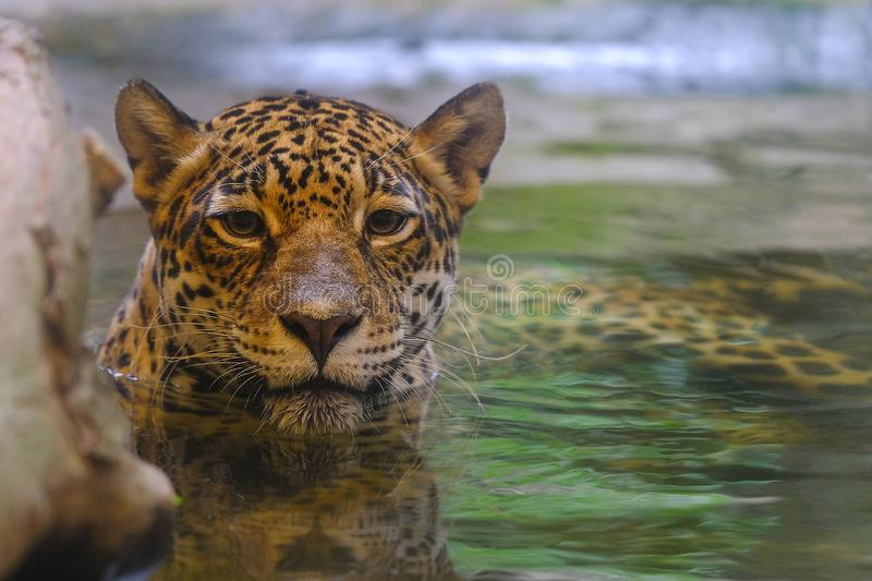 Leopards soak in water and look at the camera royalty free stock photography