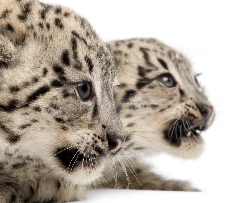 leopards uncia χιονιού panthera uncial στοκ φωτογραφίες με δικαίωμα ελεύθερης χρήσης