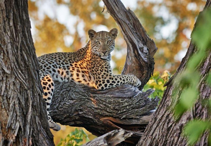 Leopardsammanträde i ett träd fotografering för bildbyråer