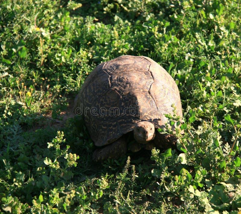 Leopardschildkröte auf hellgrünem Laub lizenzfreie stockfotografie
